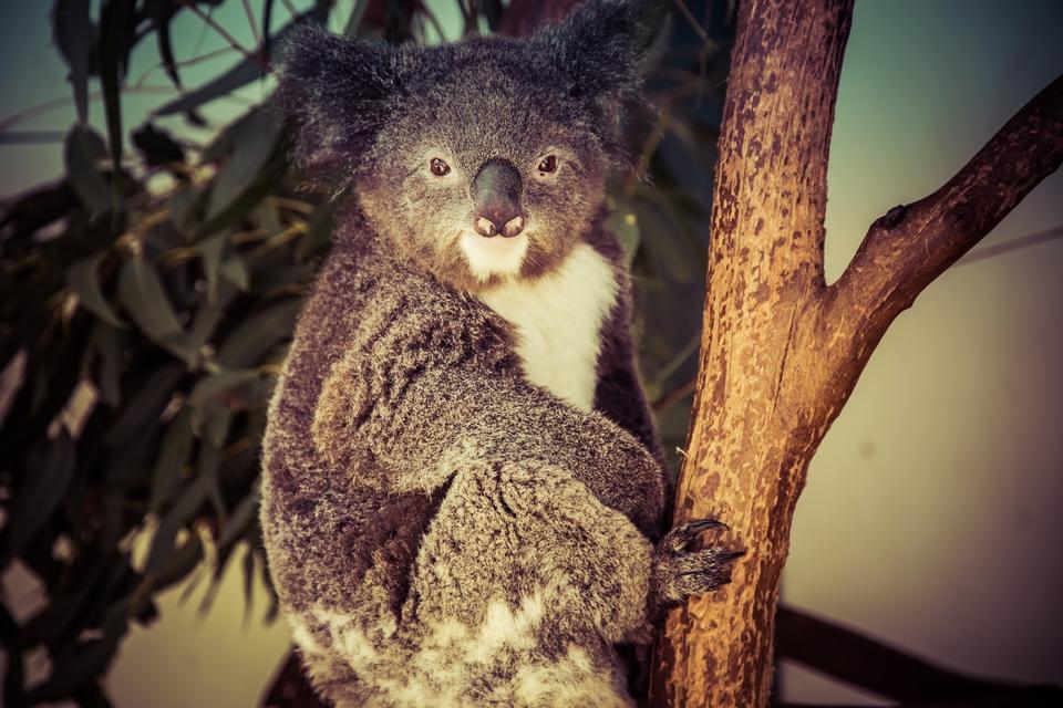 Koala-67242