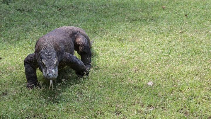 Komodo smok