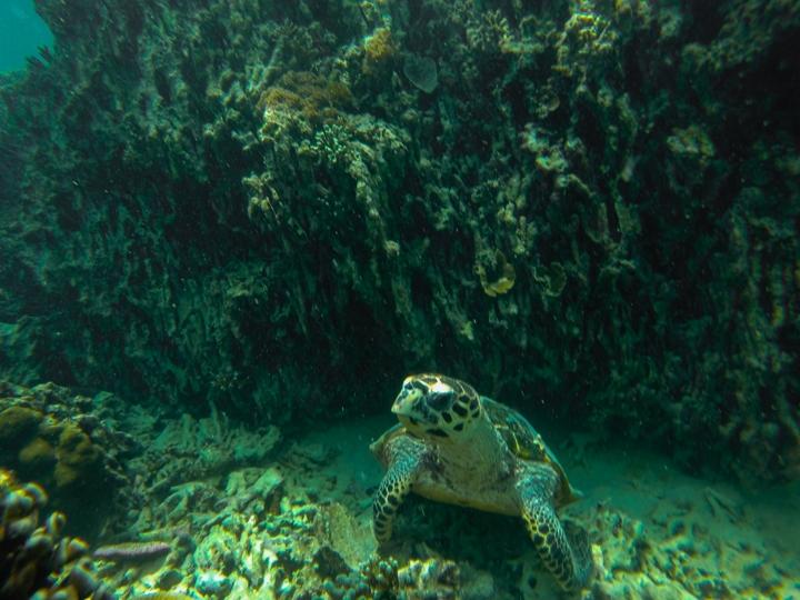 życie morskie na Komodo - żółw